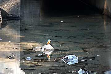 水路のカワセミ12年11月18日