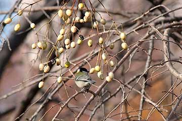 センダンの実を食べに来たシジュウカラ12年12月16日