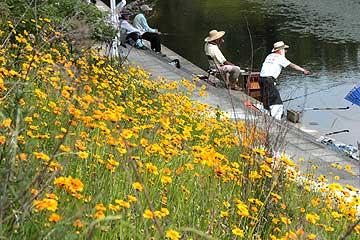 釣り場に繁茂したオオキンケイギク130526
