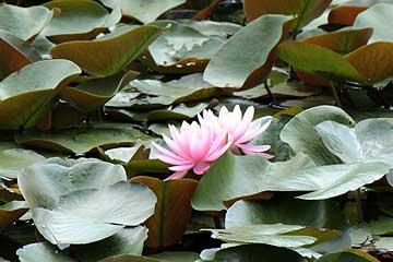 ピンクのスイレン130525