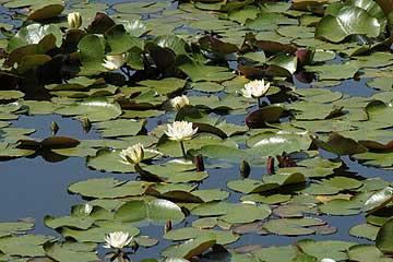池を覆うスイレン130513