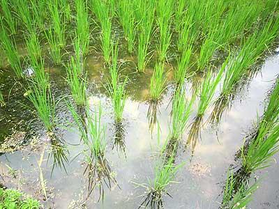 稲の育ってきた田んぼ15年7月19日