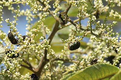 ヌルデの花に群がるシロテンハナムグリ15年9月11日