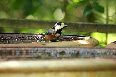 水浴びをするヤマガラ15年9月20日