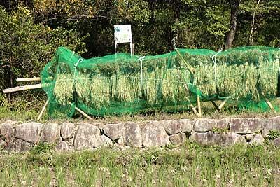 刈り取りが終わって乾燥中の稲15年10月18日