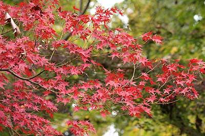紅く色づいたイロハモミジ15年11月7日