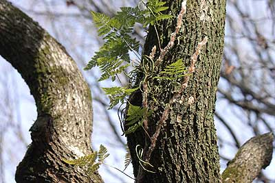 木の幹の途中から生え出したシダ16年1月17日