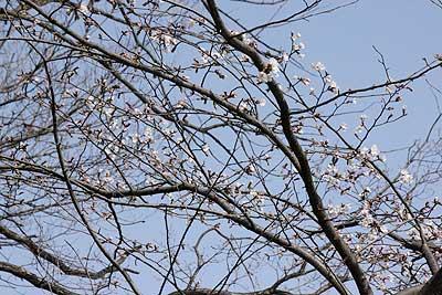 早咲きの桜16年3月20日