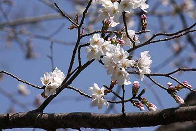 早咲きの桜16年3月20日B