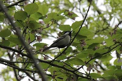 桜の枝に止まるシジュウカラ16年4月10日