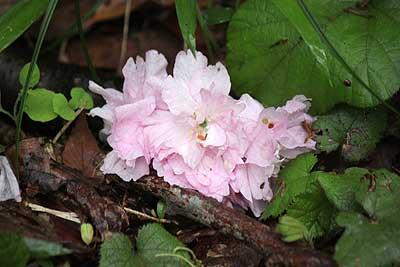 地面に落ちたヤエザクラの花16年4月17日