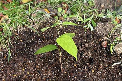 ヒメコウゾ苗木を地植えにしたところ16年5月4日