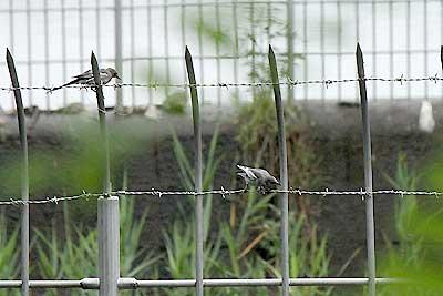 セグロセキレイ幼鳥16年7月17日
