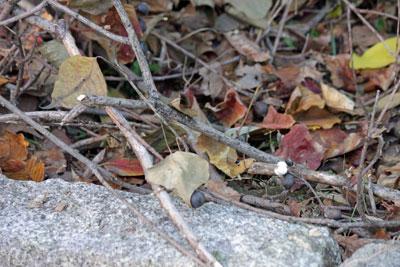 カラスの枝落とし17年11月12日