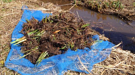 掘り出したキショウブの根18年3月10日