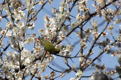 ウメの花の蜜を吸うメジロ18年3月14日