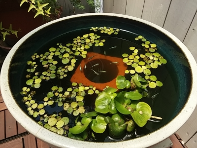 メダカの水鉢