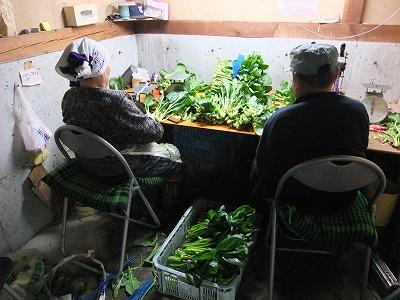 十日町産とう菜(五月菜)最盛期