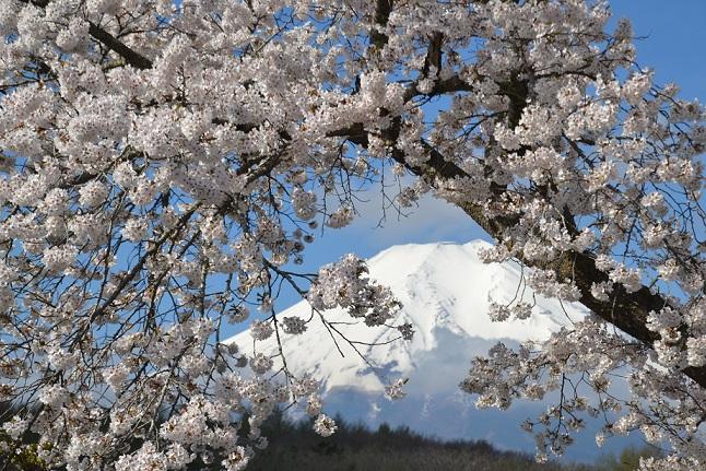 富士山・さくら