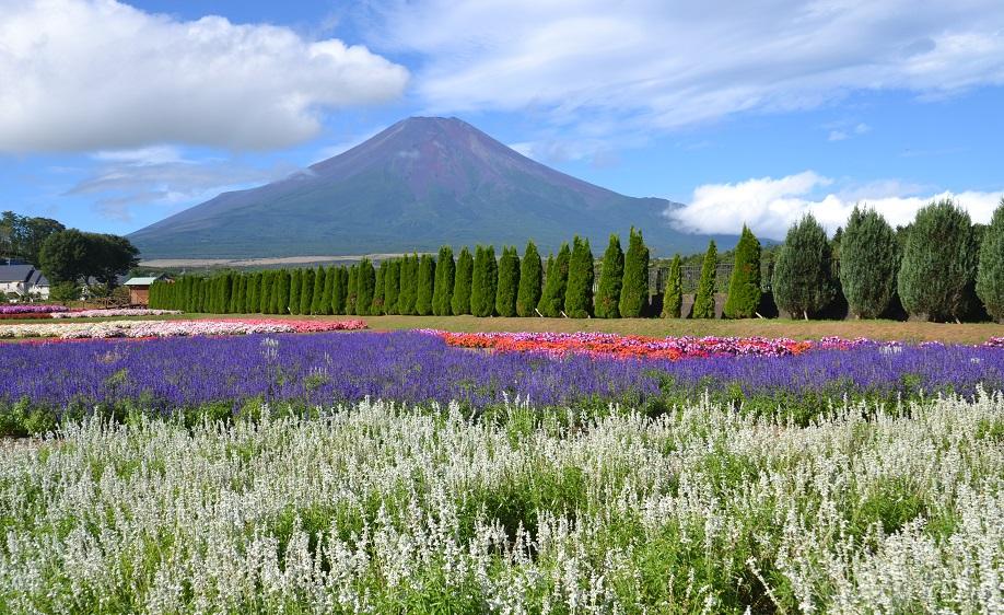 富士山サルビア