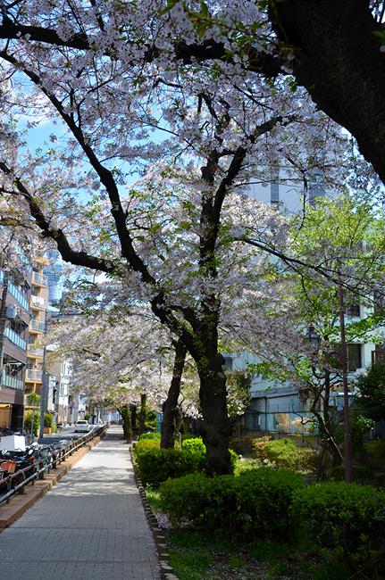 山谷堀の桜並木