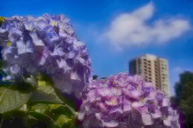 あじさい/青空の下の紫陽花