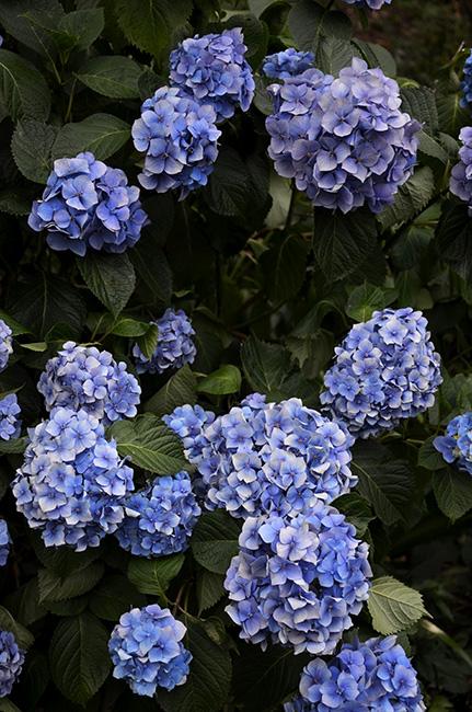 紫陽花群生