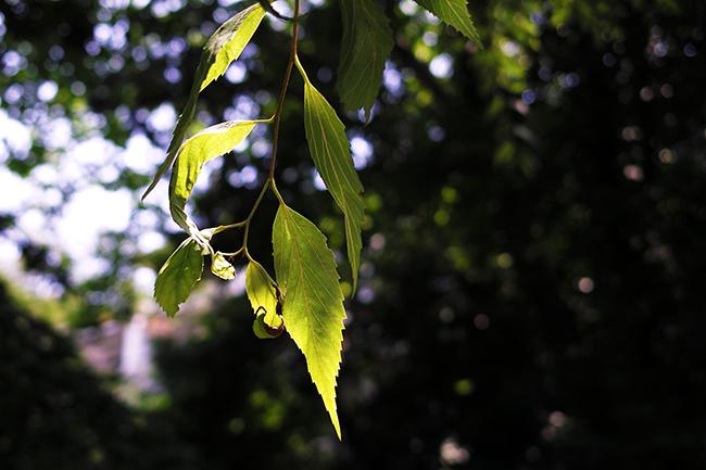 東京大学で撮った葉の写真