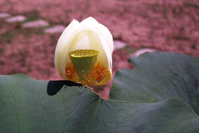 花びらを散らし始めた蓮の花