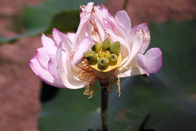 花びらを半分近く散らした蓮の花