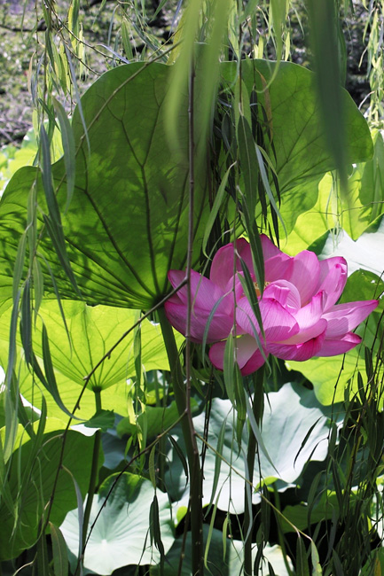 蓮の花/不忍池