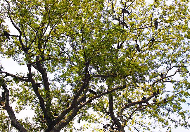 ハトの群れがとまる木