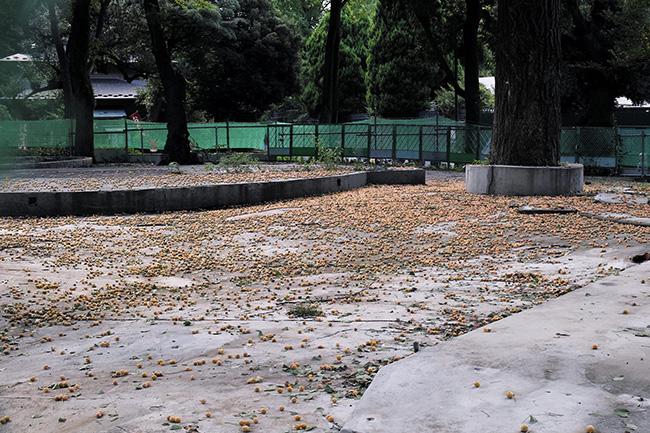 上野こども遊園地跡にばらまかれた銀杏