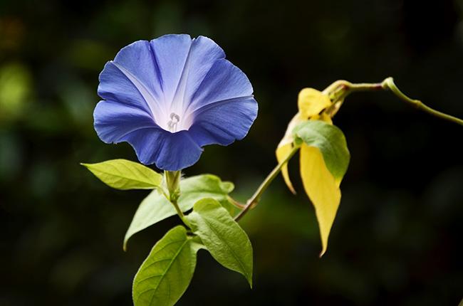 花を咲かせる水耕栽培の朝顔