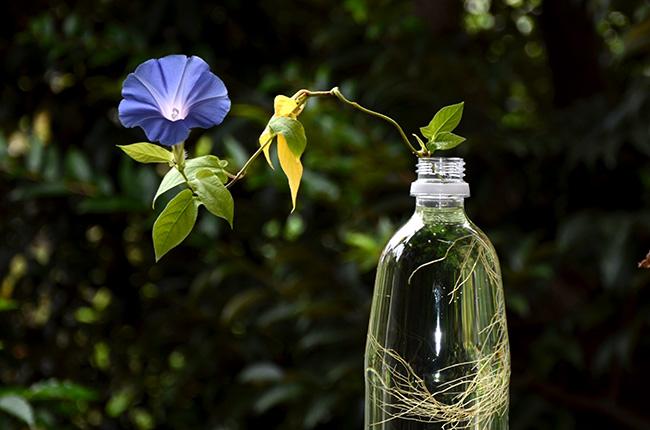 朝顔の水耕栽培