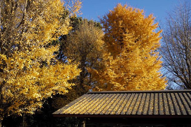 上野公園の銀杏の黄葉