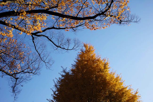 上野公園の黄葉