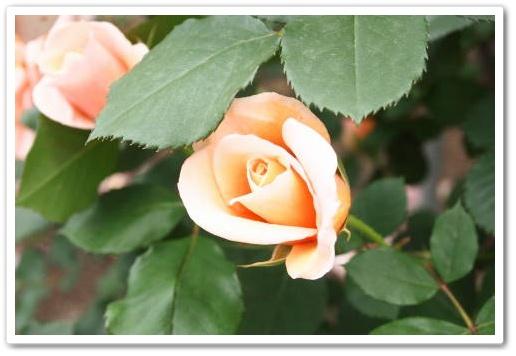 オレンジバラ.JPG