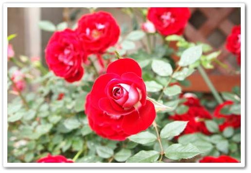 あかい薔薇.JPG
