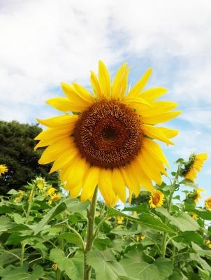 立川の昭和記念公園のひまわりです♪夏の風物詩!
