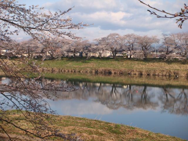 白石川と桜