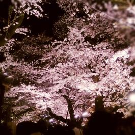 千鳥ヶ淵公園 桜