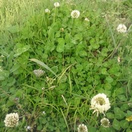 しろつめ草,シロツメ草