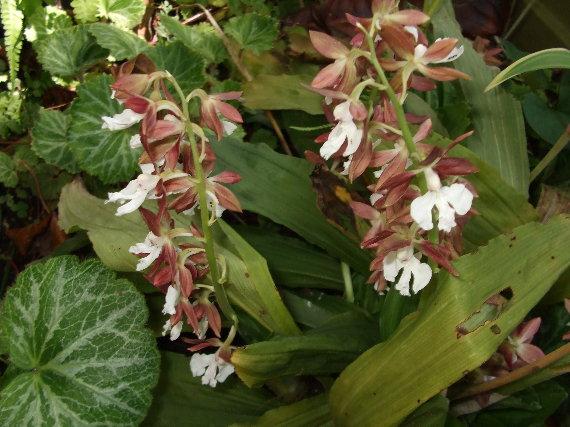 海老根の花
