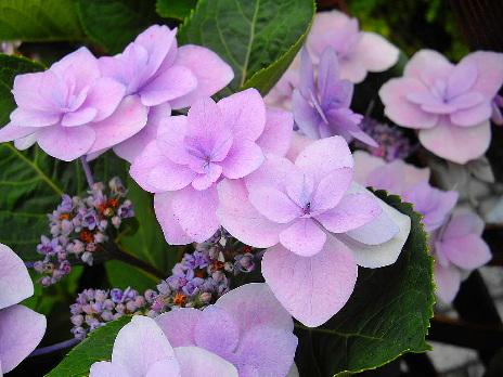 八重の紫陽花