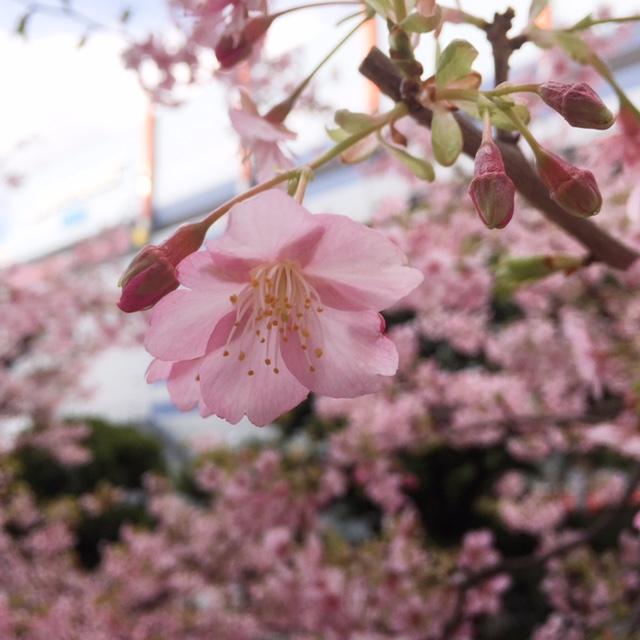 河津桜だってさ。