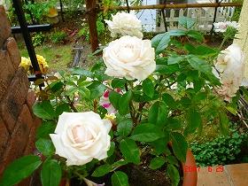 粉粧桜(フンショウロウ)
