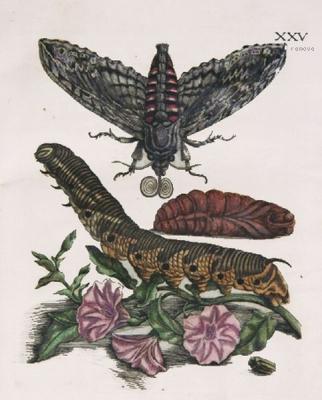 Der Raupen wunderbarer Verwandlung und sonderbare Blumennahrung von Maria Sibylla Merian