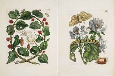 Maria Sibylla Merian. Der Raupen Wunderbare Verwandelung und Sonderbare Blumen-Nahrung.