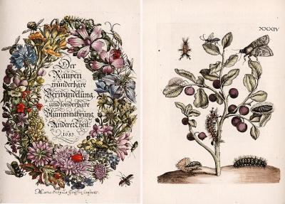 Maria Sibylla Merian. Der Raupen Wunderbare Verwandelung und Sonderbare Blumen-Nahrung 1683